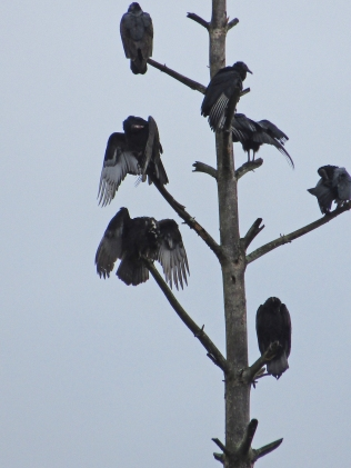 vultures-tree