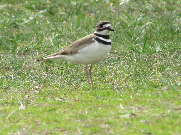 gbbc-killdeer