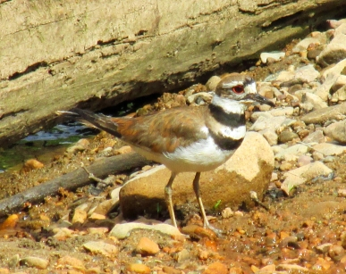 Killdeer_AgainstLog
