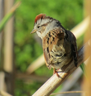 Photo by Bryan Stevens • Sparrows, like this swamp sparrow, often spend the winter months in fields, woods, and wetlands, sometimes visiting feeders in our homes and gardens.