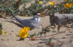 California_Least_tern-2