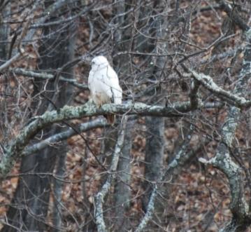 Albino-Hawk