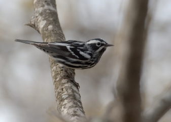 Black-and-WhiteWarbler