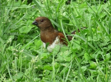 FemaleTowhee-PIC