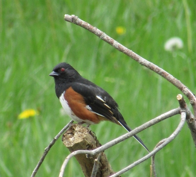 Photo by Bryan Stevens • Former common name rufous-sided towhee became Eastern towhee, which is far less descriptive of the bird's appearance.