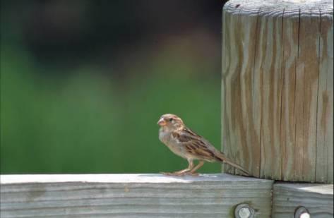 House_sparrow (1)