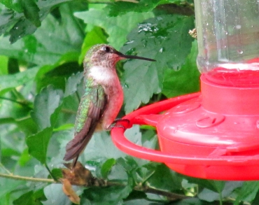 Photo by Bryan Stevens • A ruby-throated hummingbird visits a feeder for a sip of sugar water.