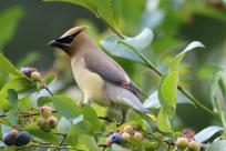 Waxwing-AnnetteBryant