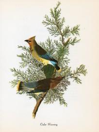 Early American naturalist and artist John James Audubon painted this pair of cedar waxwings.