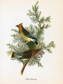 Early American naturalist and artist John James Audubon painted this pair of cedar waxwings.