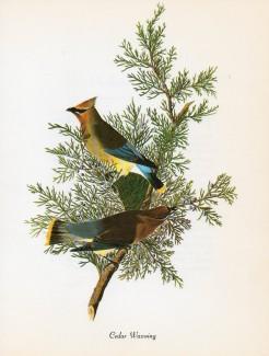 Waxwing-Audubon