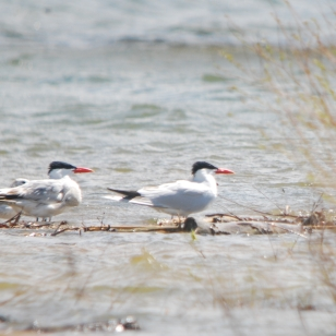 Photo by Jean Potter Caspian Terns at Holston Lake in Northeast Tennessee.