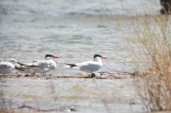 JEAN-Caspian Terns
