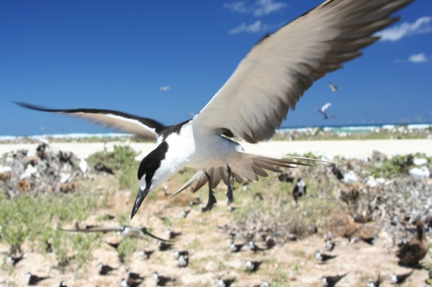 Photo by U.S. Fish and Wildlife Service/Duncan Wright The sooty tern, pictured, nests mainly in Hawaii, but some also nest on the islands of the Dry Tortugas, west of the Florida Keys. In 2004, Hurricane Frances blew one of these tropical birds to Holston Lake in Bristol. Severe storms also present devastating obstacles for other birds.