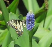 Swalow-tail-Pickerel