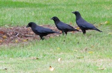 Crow-Trio