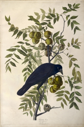 sclaudubon_sclib_audubon_v2_2_p156_full_5398_8151__0_native