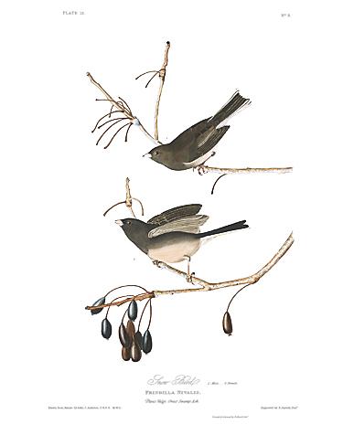 john-james-audubon-limited-centennial-edition-giclee-on-paper-dark-eyed-junco-2