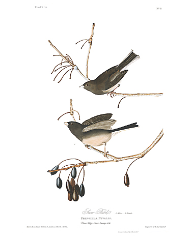 john-james-audubon-limited-centennial-edition-giclee-on-paper-dark-eyed-junco-2