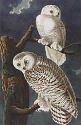 5-snowy-owl-john-james-audubon
