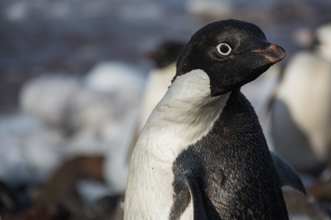 Crozier_Adelie_Penguin_Adult_looking-HR
