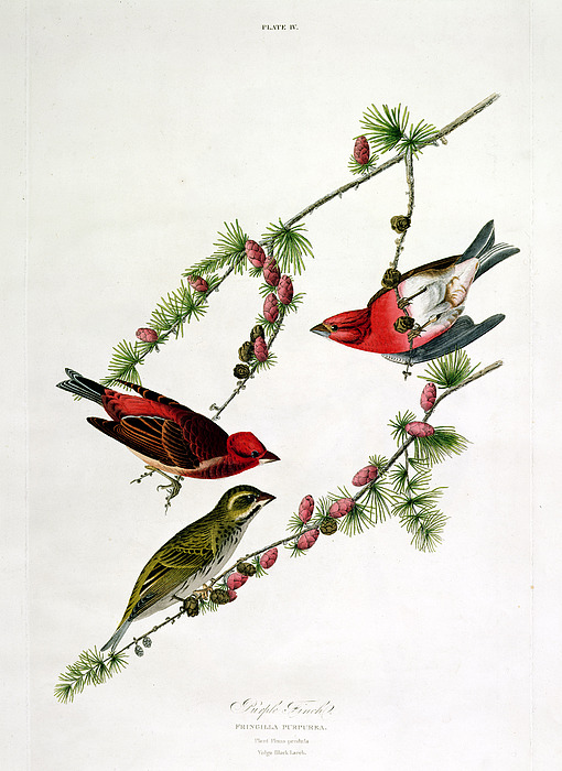 purple-finch-john-james-audubon