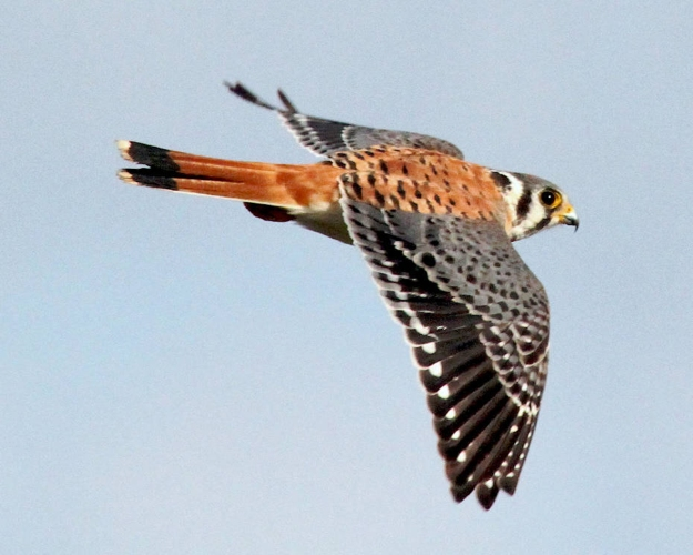 AmKestrel-Flight