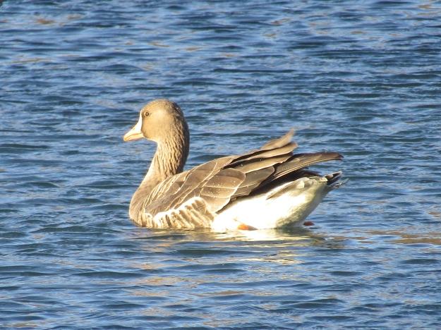GreaterWF-Goose