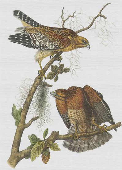 red-shouldered-hawk-john-james-audubon