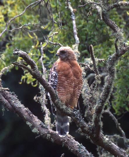 Redshouldered_Hawk-LeeKarney