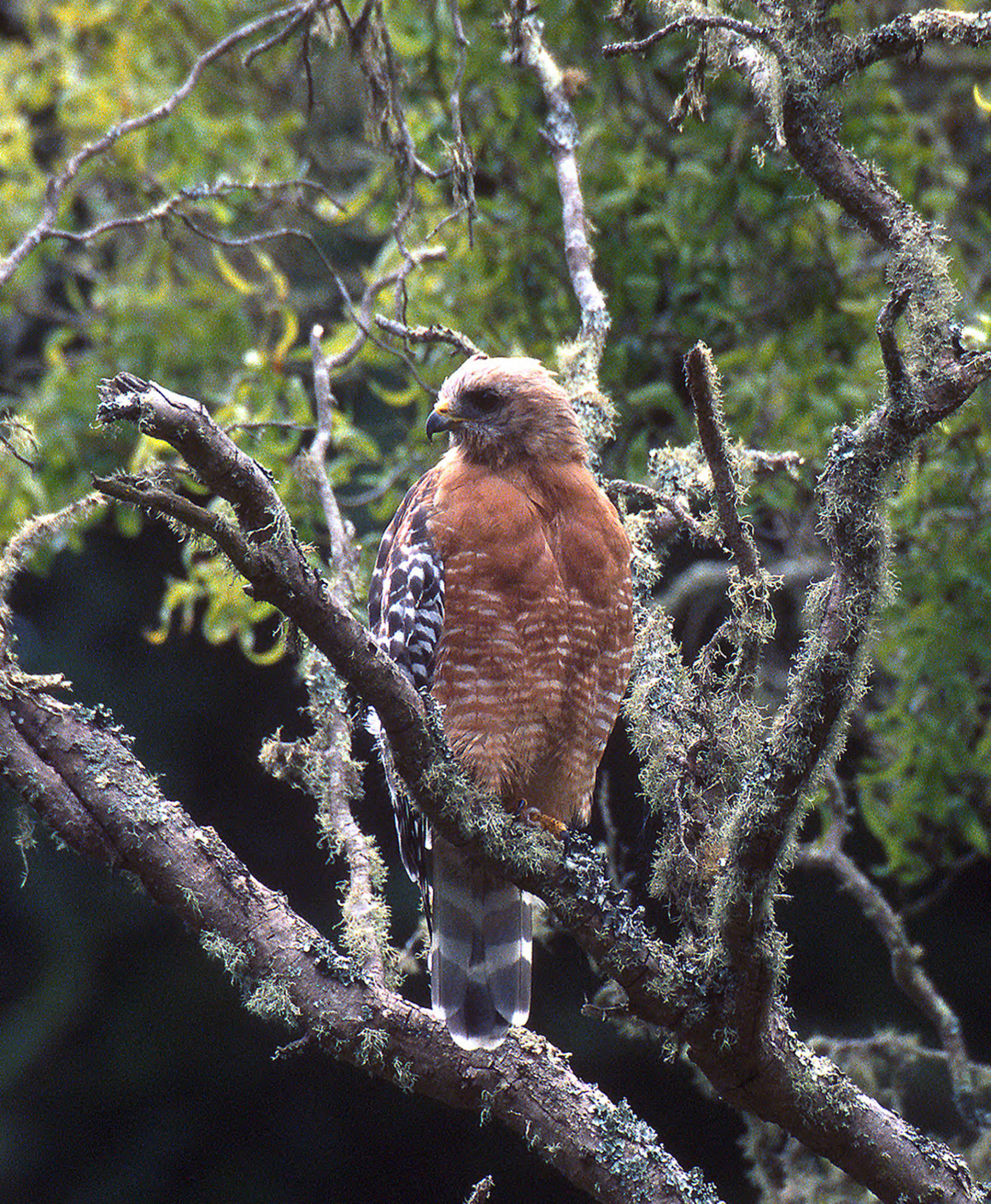 Redshouldered_Hawk-LeeKarney