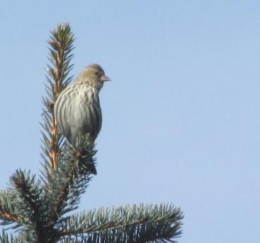 Sisken-Spruce