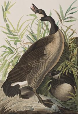 2-canada-goose-john-james-audubon