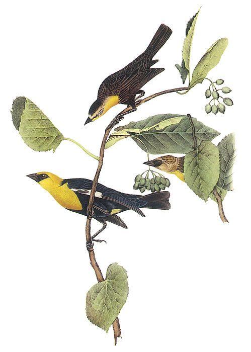 7ee8ab76db6c1c18d9bac62d3c602b30--john-james-audubon-blackbird 2