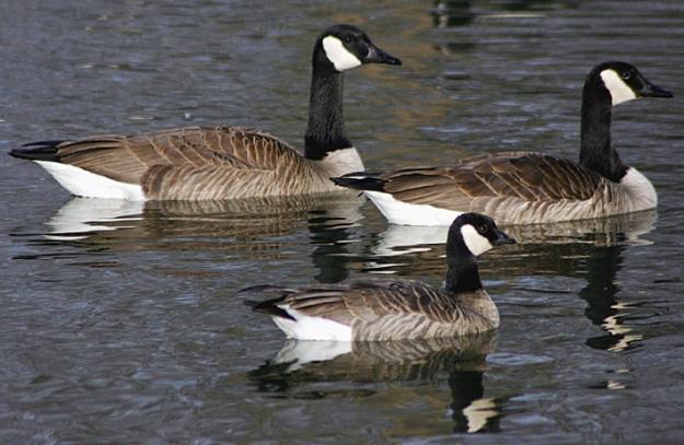 A-Cackling Goose 1