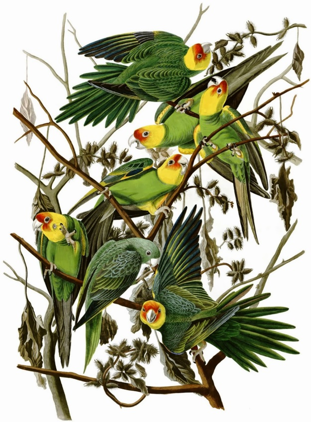 Carolina parakeets, John James Audubon