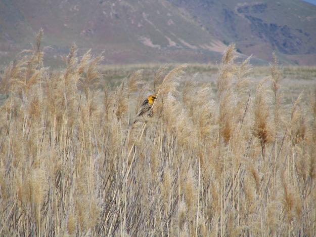 Yellow-headedBlackbird-Copy