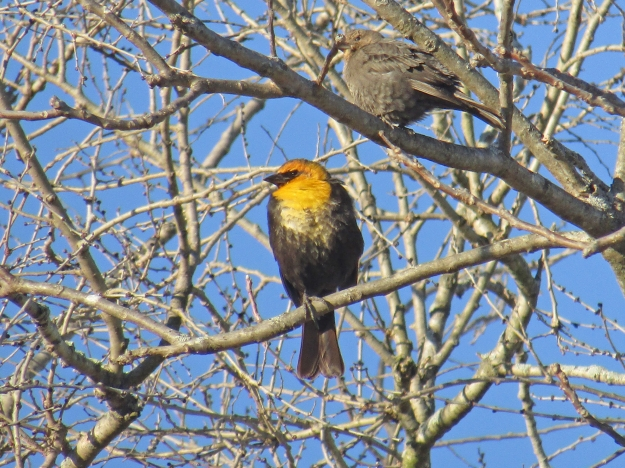 Yellow-headedBlackbird-JBoro