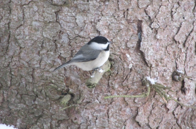 Chickadee-Feb9