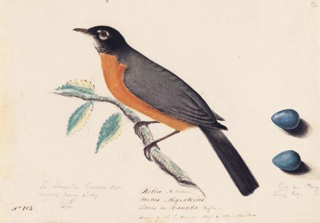 Houghton_MS_Am_21_(46)_-_John_James_Audubon,_robin 3