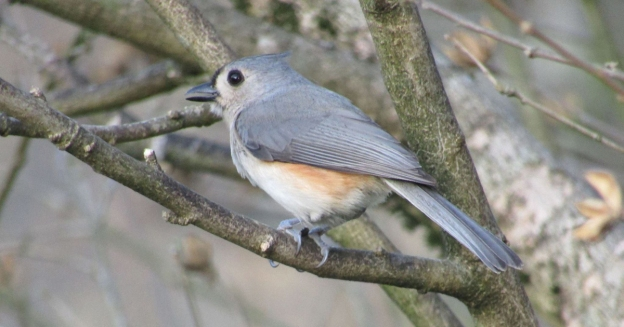 Birds our fine feathered friends tufted titmouse small songbird with big personality sciox Images