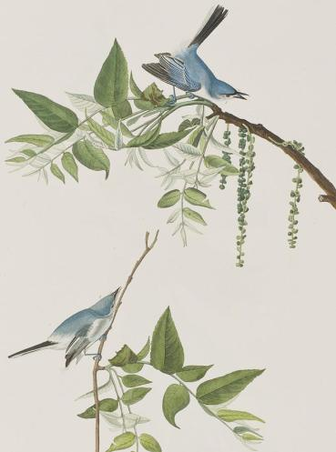 1-blue-grey-flycatcher-john-james-audubon