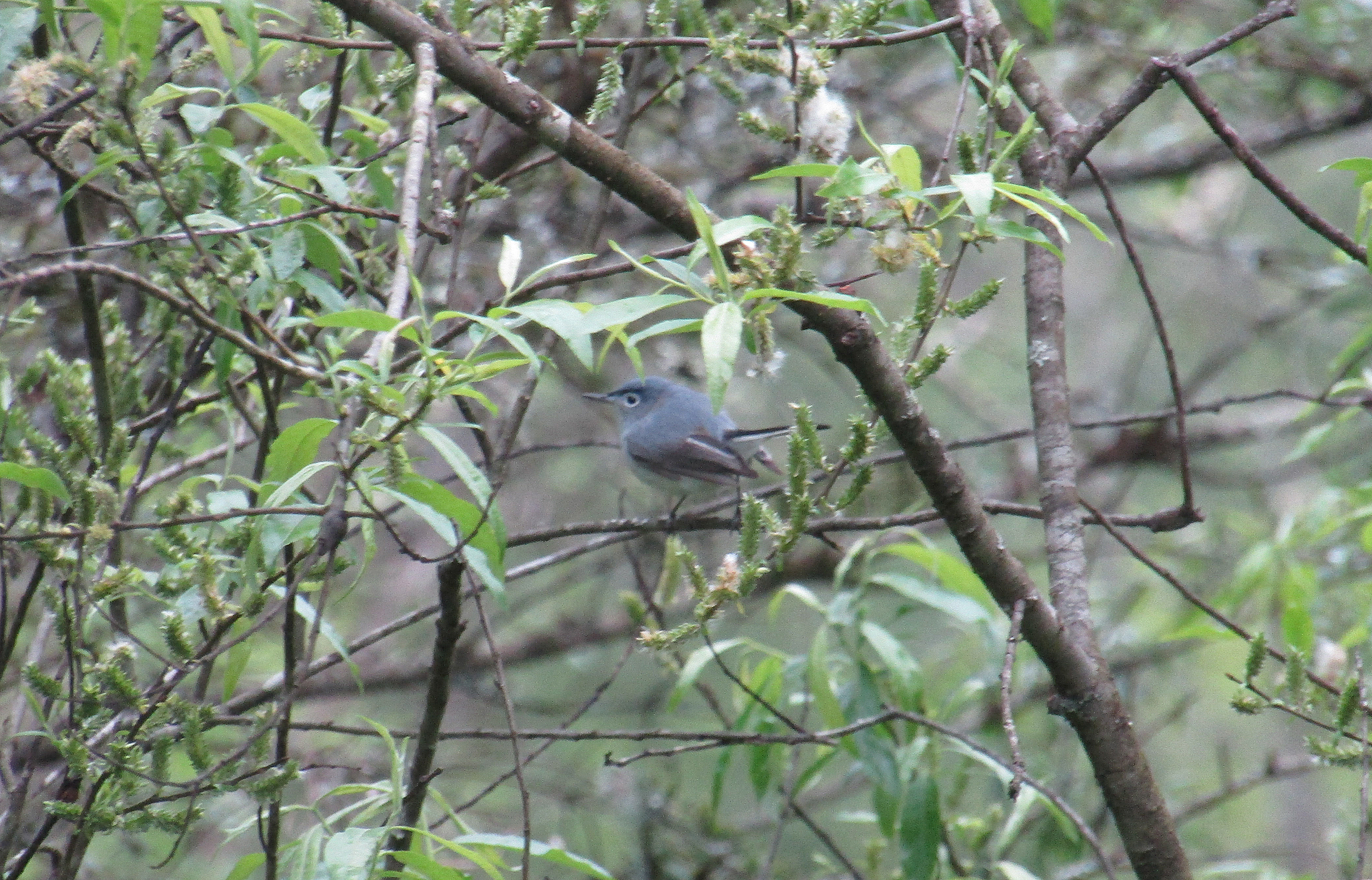 Gnatcatcher 2
