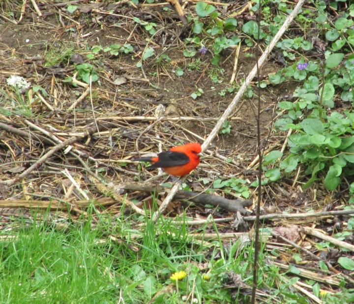 Scarlet Tanager02