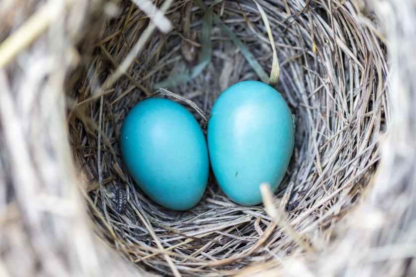 bird-nest-eggs-blue-158734.jpeg