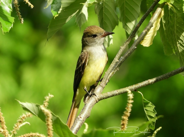 Boyd-FLYCATCHER
