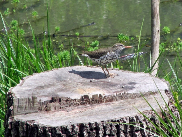 SpottedSandpiper-STUMP