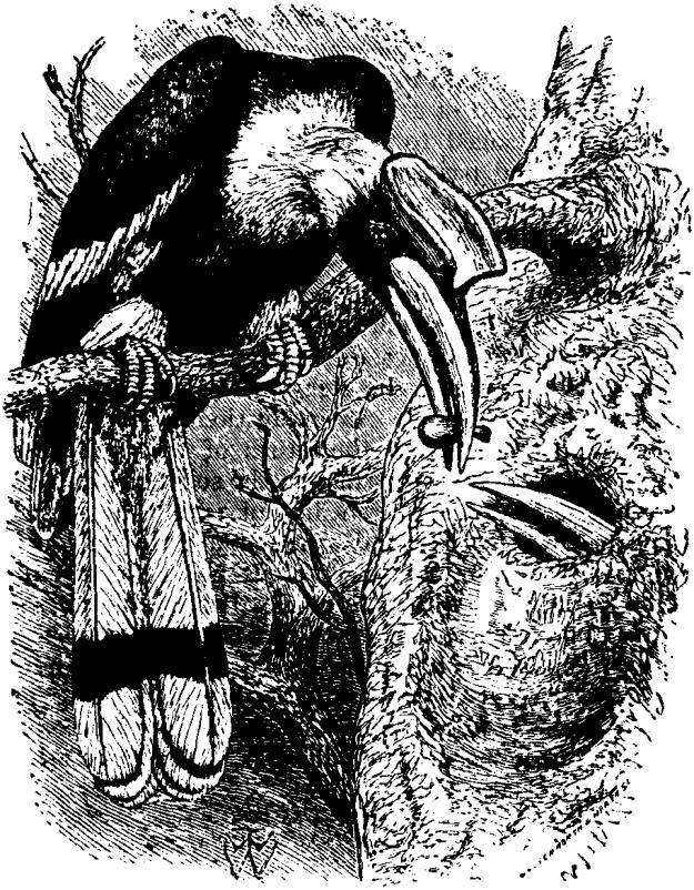 Britannica_Hornbill_Buceros_bicornis