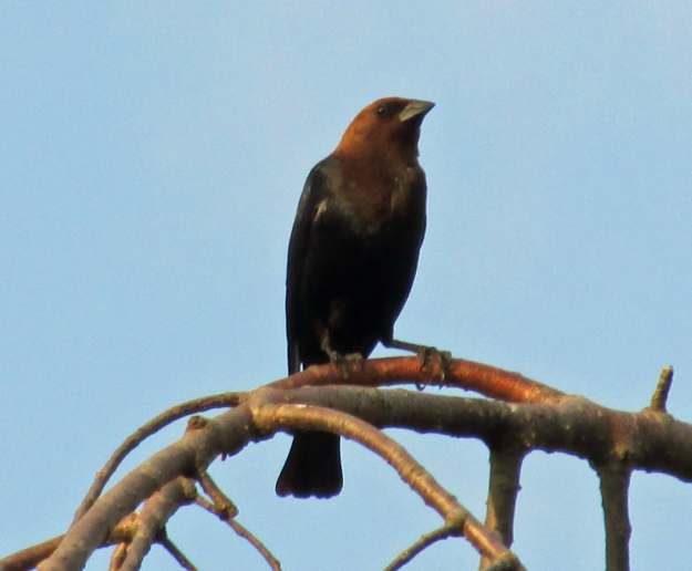 Brown-headedCowbird-Male