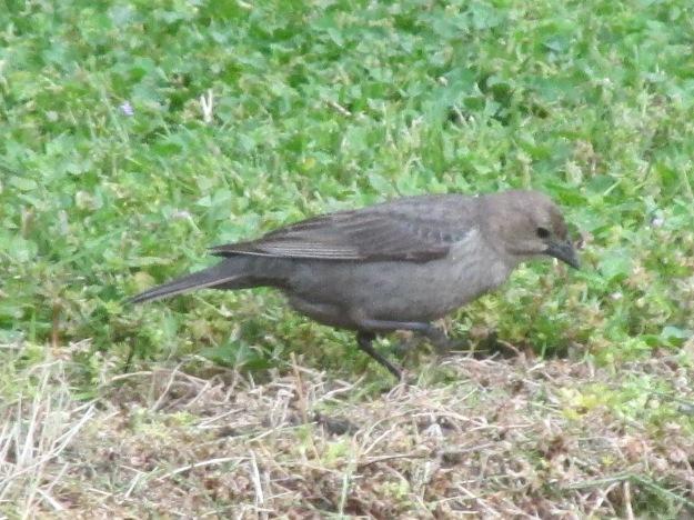 COWBIRD-Female